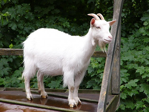 Goat knue