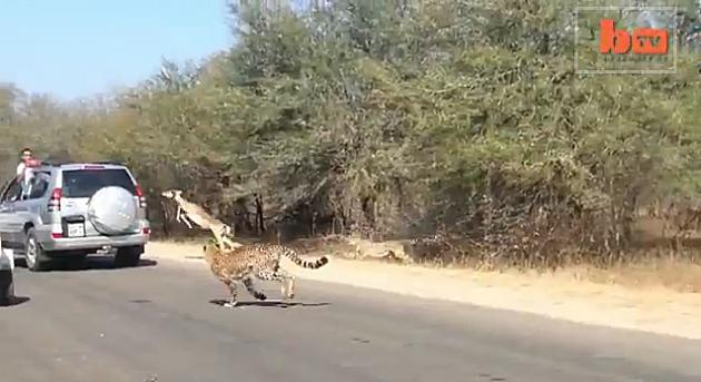 Cheetah running down Impala