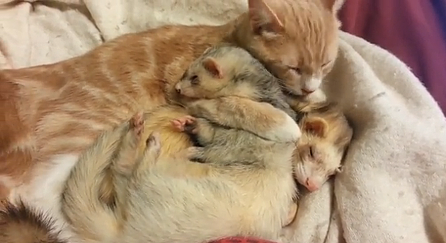 Cat Loves Ferrets