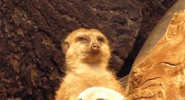 Tuckered Meerkat