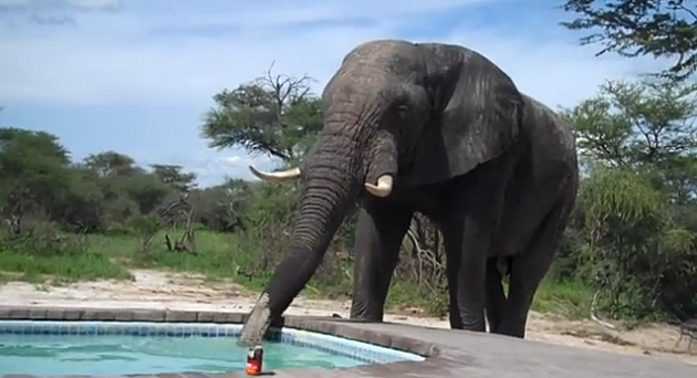 Elephant Drinks From Pool