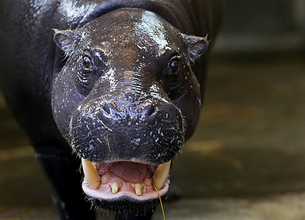 Bristol Zoo Welcomes Their New Baby Pygmy Hippo