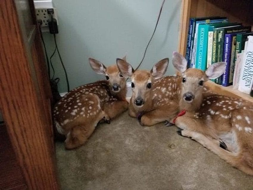 What Would You Do If You Left Your Back Door Open and Three Deer Set Up C& in Your Living Room? & 3 Deer Take Shelter in Womanu0027s Living Room When She Leaves Door Open